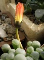 fenestraria rhopalophylla aurantiaca