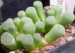 Frithia pulcra