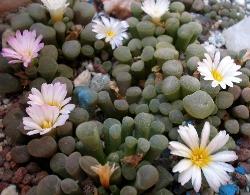 Frithia pulcra minor