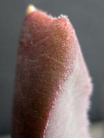Glottiphyllum carnosum