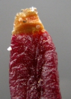 Glottiphyllum parvifolium