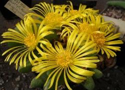 Glottiphyllum pigmaeum
