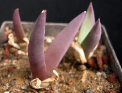 Glottiphyllum sp. buffelsvleyense