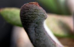 Glottiphyllum sp. ISI