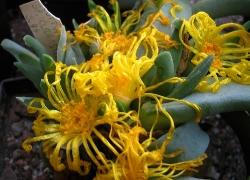 Glottiphyllum sp. klastroom