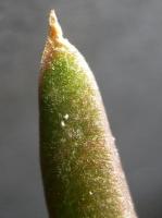 Glottiphyllum sp. Ouberg pass