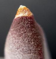 Glottiphyllum sp. Roinek pass