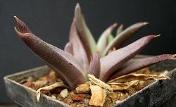 Glottiphyllum sp. Welbedacht