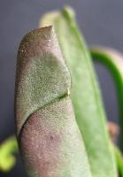 Glottiphyllum sp.GM342