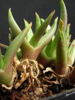 Glottiphyllum sp.Soetendalspoort