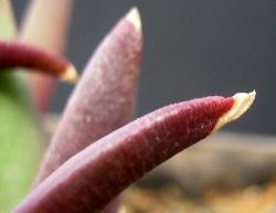 Glottiphyllum sp.Swartrivier