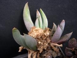 Glottiphyllum suave