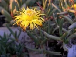 Hereroa tenuifolia