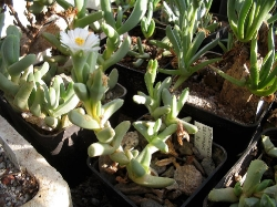 Juttadinteria decumbens