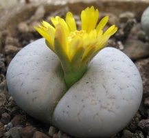 Lithops gracilidelineata