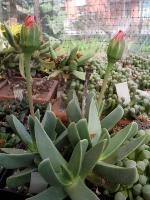 Machairophyllum albidum