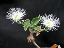 Mesembryanthemum barkly