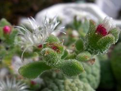 Mesembryanthemum cristallinum