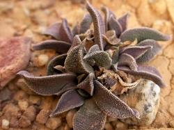 Nananthus sp.