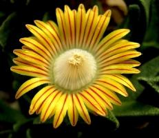 Nananthus sp. Enkelekoppie