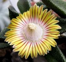 Nananthus wilmaniae
