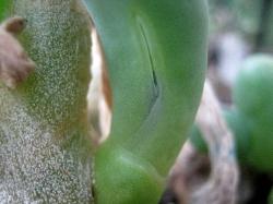 Phyllobolus digitata