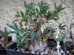 Phyllobolus laxipetalus