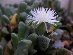 Stomatium alboroseum