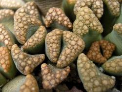 Titanopsis hugo-schlechteri