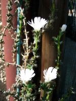 Trichodiadema sp fiore bianco