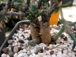 Trichodiadema specie JGB