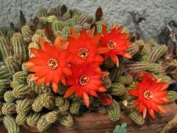 Chamaecereus silvestris e ibridi