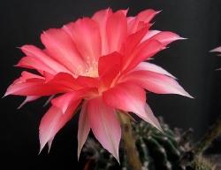 Echinopsis E03