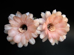 Echinopsis H16