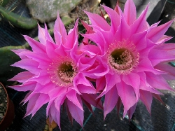 Echinopsis H05