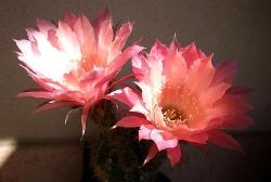 Echinopsis echi02