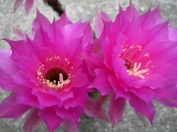 Echinopsis H07