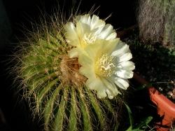 Notocactus claviceps