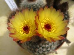 Notocactus concinus