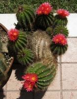 Notocactus horstii purpureus