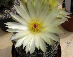 Notocactus uebelmannianus flaviflorus